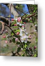 Apple Blossom Hill Greeting Card