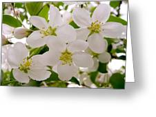 Apple Tree Blossoms Greeting Card