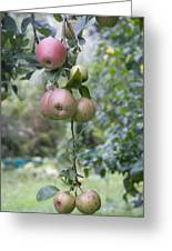 Apple Tree In Allotments In Utrecht Netherlands Greeting Card