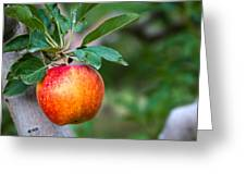 Apples Hanging In Orchard Greeting Card