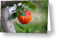 Apples Hanging In The Orchard Greeting Card