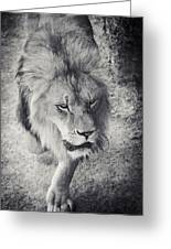 Approaching Lion Greeting Card