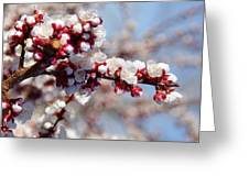 Apricot Blossoms Popping Greeting Card