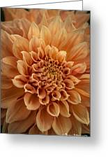 Apricot Dahlia Greeting Card
