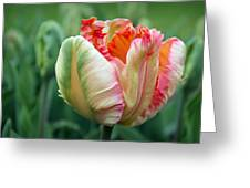 Apricot Parrot Tulip Greeting Card