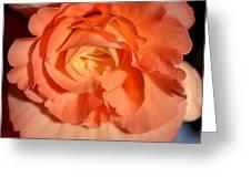 Apricot Pink Tuberous Begonia Greeting Card