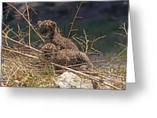 Arabian Leopard Panthera Pardus Cubs Greeting Card