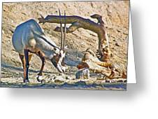 Arabian Oryx In Living Desert In Palm Desert-california Greeting Card