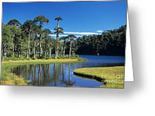 Araucaria Forest Chile Greeting Card