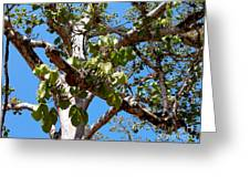 Panama Tree With Flowers Greeting Card