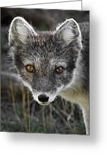 Arctic Fox In Summer Coat Greeting Card