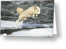 Arctic Fox Jumping Greeting Card