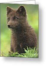 Arctic Fox Portrait Alaska Wildlife Greeting Card