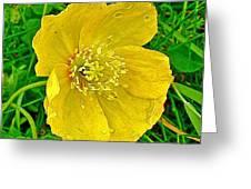 Arctic Poppy Near Maligne Lake Trail In Jasper National Park-alberta Greeting Card