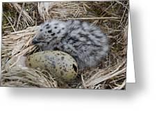 Arctic Tern Greeting Card