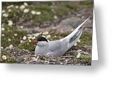 Arctic Tern In Its Nest Greeting Card