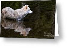 Arctic Wolf In Pond Greeting Card