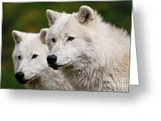 Arctic Wolf Picture 247 Greeting Card