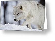 Arctic Wolf Pictures 1054 Greeting Card