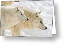 Arctic Wolf Pictures 1081 Greeting Card