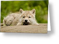 Arctic Wolf Pictures 1118 Greeting Card