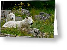 Arctic Wolf Pictures 1128 Greeting Card