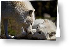 Arctic Wolf Pictures 1139 Greeting Card