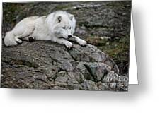 Arctic Wolf Pictures 1142 Greeting Card