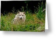 Arctic Wolf Pictures 1172 Greeting Card