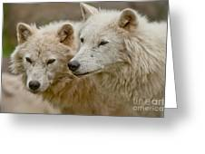Arctic Wolf Pictures 1174 Greeting Card