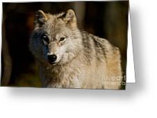 Arctic Wolf Pictures 1224 Greeting Card