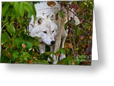 Arctic Wolf Pictures 1228 Greeting Card