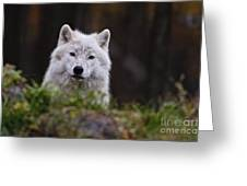 Arctic Wolf Pictures 208 Greeting Card