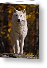 Arctic Wolf Pictures 33 Greeting Card