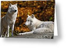 Arctic Wolf Pictures 34 Greeting Card