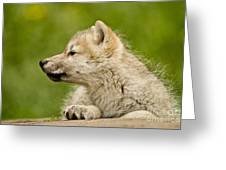 Arctic Wolf Pictures 340 Greeting Card