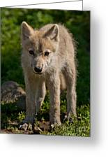 Arctic Wolf Pictures 345 Greeting Card