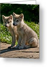 Arctic Wolf Pictures 346 Greeting Card