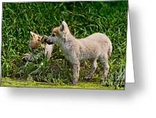Arctic Wolf Pictures 347 Greeting Card