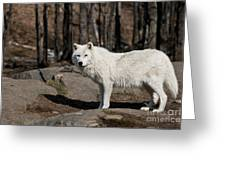 Arctic Wolf Pictures 512 Greeting Card