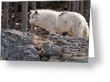 Arctic Wolf Pictures 525 Greeting Card