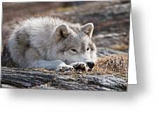 Arctic Wolf Pictures 526 Greeting Card