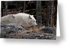 Arctic Wolf Pictures 541 Greeting Card