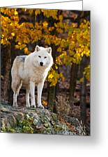 Arctic Wolf Pictures 709 Greeting Card