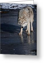 Arctic Wolf Pictures 766 Greeting Card