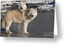 Arctic Wolf Pictures 812 Greeting Card