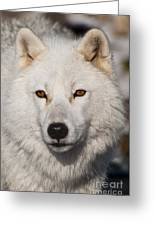 Arctic Wolf Pictures 814 Greeting Card