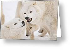 Arctic Wolf Pictures 872 Greeting Card