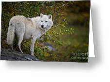 Arctic Wolf Pictures 922 Greeting Card