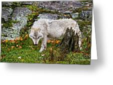 Arctic Wolf Pictures 927 Greeting Card